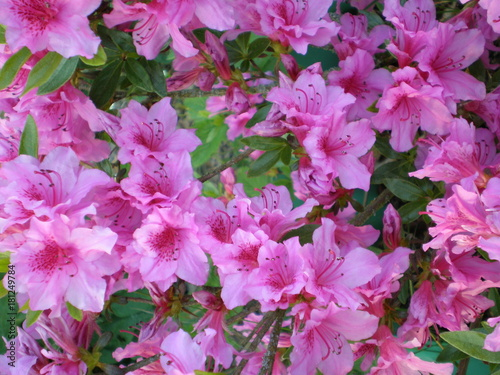 Aluminium Azalea Fleurs Rhododendron