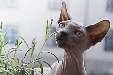 cat, sphynx