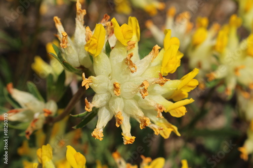Yellow common kidney vetch flower or woundwort ladies fingers yellow common kidney vetch flower or woundwort ladies fingers gemeiner mightylinksfo