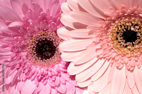 Fotobehang Gerbera Two gerbers. Beautiful pink flowers isolated on white background.