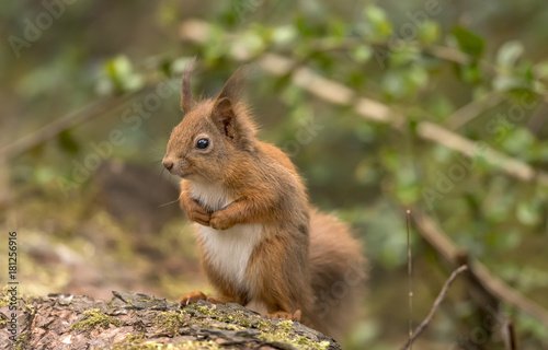 Tuinposter Eekhoorn Red Squirrel on a log in a forest looking around for food and eating nuts