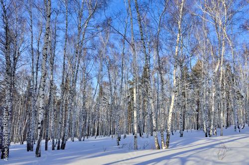 Papiers peints Bosquet de bouleaux Sunny winter day in birch grove