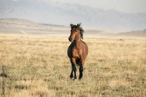 Plexiglas Paarden Stallion