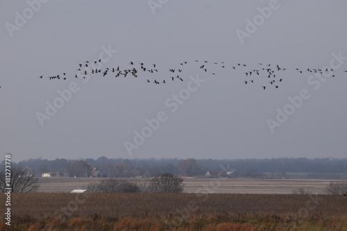 Plexiglas Donkergrijs Flock of Geese