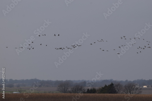 Foto op Canvas Grijs Flock of Geese