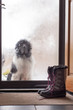 A landseer newfoundland dog waiting to come in the front door