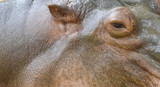 hippo close up. Ear, eye and skin. - 181286312