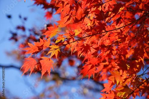Foto op Plexiglas Rood paars 快晴の青空と紅葉