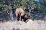 Colorado Elk