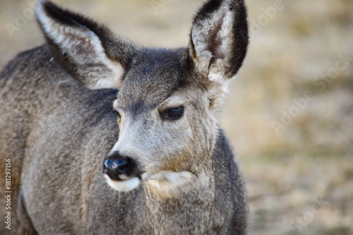 Fotobehang Kangoeroe Colorado Mule Deer