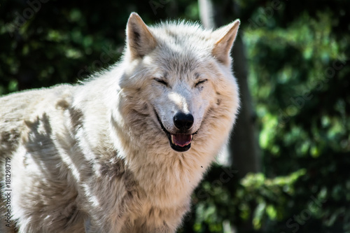 Fotobehang Wolf Wolf Sanctuary Colorado White Wolfs