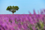 Tree surrounded by lavender - 181299125