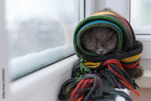 Fotobehang Kat cat of Scottish British breed wrapped in a warm scarf looking out the window at the snow