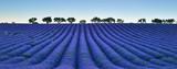 Field of flowering lavender - 181302111