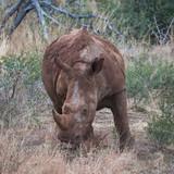 Rhino - 181302350