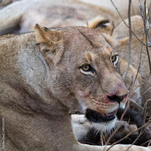 Mhangeni Pride Female Lion Poster