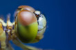 Dragonfly Macro close-up