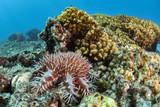 Sea star crown of thorns destroy corals