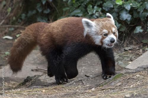 Fotobehang Panda red panda close up portrait