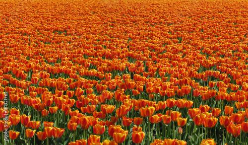 Foto op Canvas Baksteen Orange Tulip Field Horizontal Tile Texture