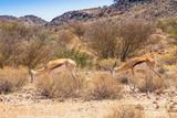 Female Springbok With Sub Adult Offspring
