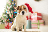 Dog Jack Russell Terrier in a house decorated with a Christmas tree and gifts wishes happy Holiday and  Christmas Eve - 181325982