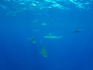 Caribbean reef sharks (Carcharhinus perezi), cuba under-sea