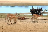 Herd of Impala standing on the bank of the Luangw river in Zambia - 181328996