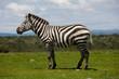 Portrait of a plains zebra stallion