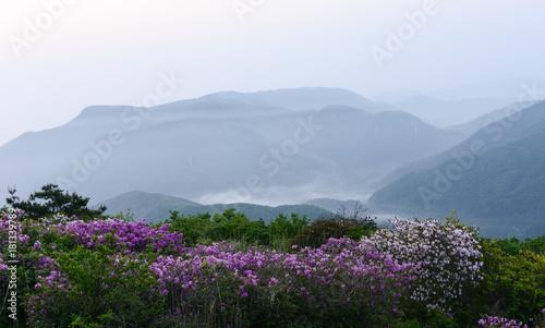 Naklejka 산 정상에서 본 철쭉꽃과 운해