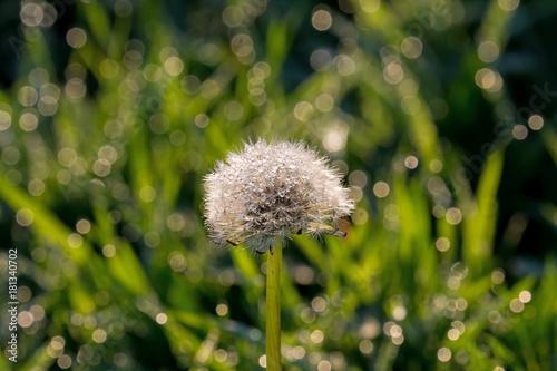 Plexiglas Paardebloemen Dandelion Seedhead with Dew