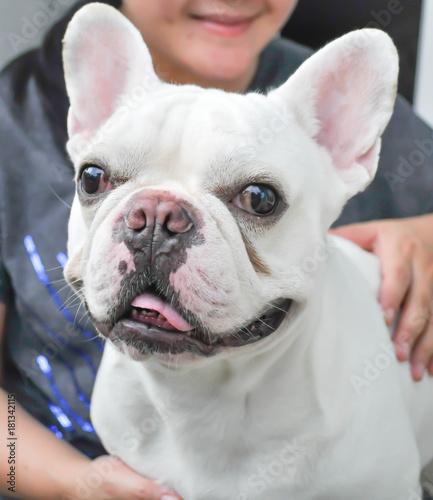 Plexiglas Franse bulldog dog or French bulldog