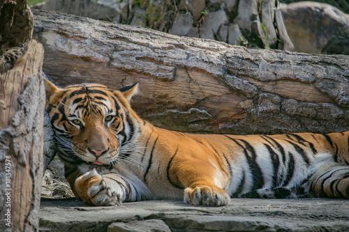 Fotobehang Tijger Tired Tiger