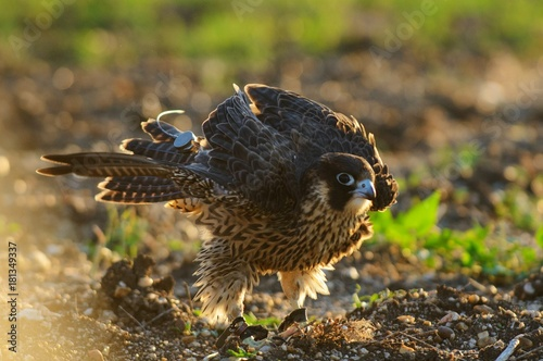 Peregrine Falcon shakes. Falco peregrinus. Poster