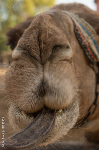 Plexiglas Kameel Camel's Muzzle.A camel looking straight into camera