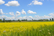 Yellow rapeseed flowers on field with blue sky and clouds, Quebec, Canada