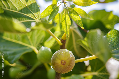 Green figs growing on a tree branch.