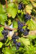 wine pigeons on the vine in the vineyard