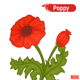 Blossoming red poppy flower.
