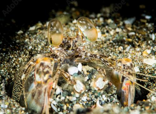 Fotobehang Tijger tiger mantis shrimp