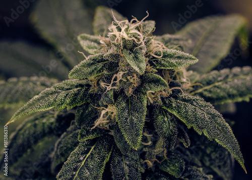 Live Cannabis Bud Shot