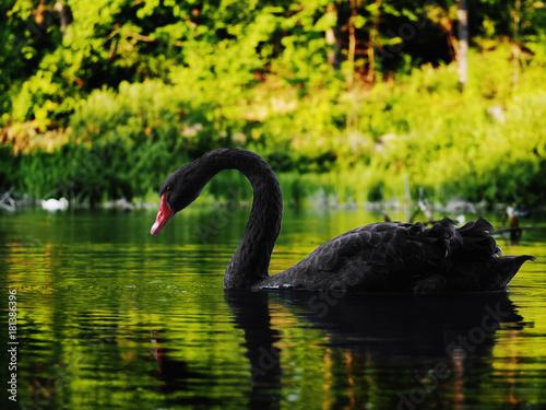 Fotobehang Zwaan Black swan sweaming at the beautiful lake