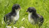 chickens in grass - 181386743