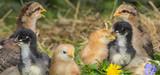 chickens in the garden - 181386990