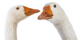 white geese (Anser anser domesticus) isolated on a white background - 181389570
