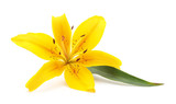 One yellow lily.