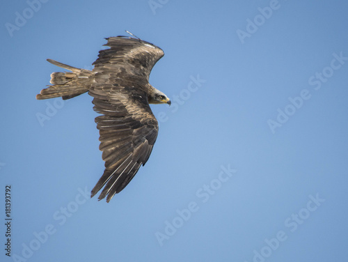 Plexiglas Eagle Aquila Reale