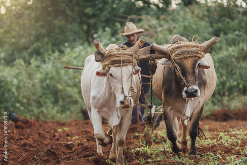 Farmer and Oxen Plow Tobacco Field.