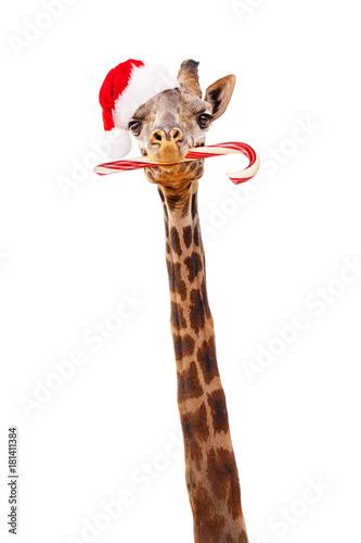 Fototapeta Christmas Giraffe With Candy Cane