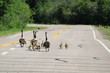 Two families of Canada Geese walk down a highway